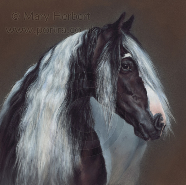 gypsy cob  horse portrait by Mary Herbert
