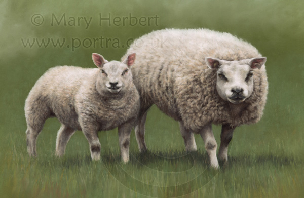 Beltex sheep portrait by Mary Herbert