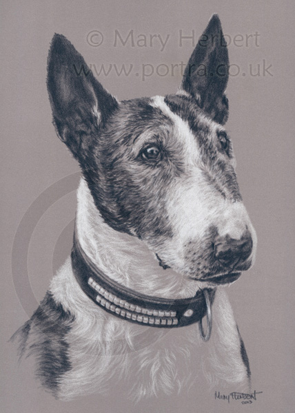 English Bull Terrier sketch portrait by Mary Herbert