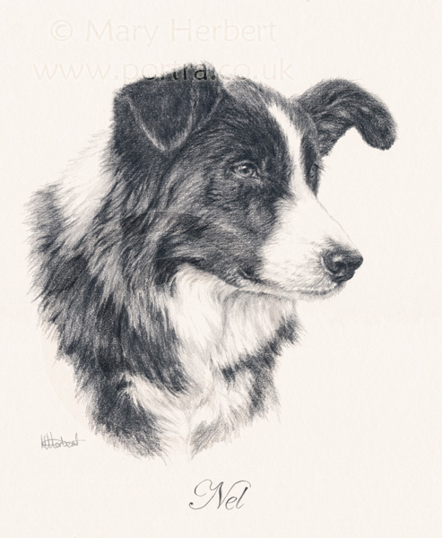Border collie sketch portrait by Mary Herbert