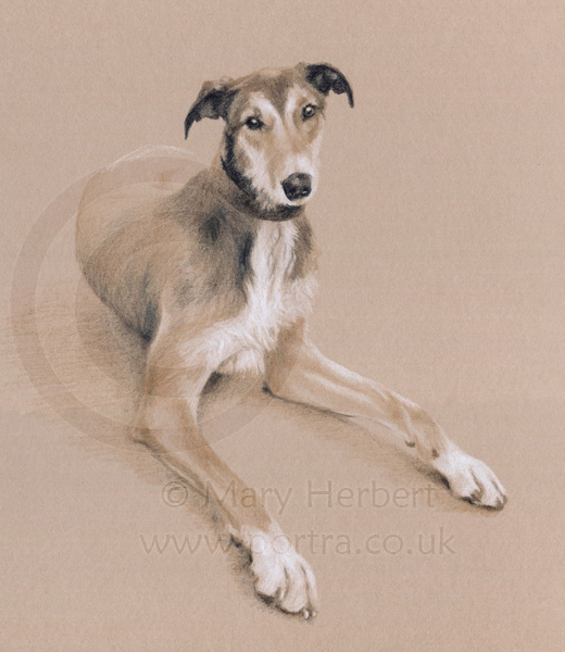 lurcher sketch portrait by Mary Herbert